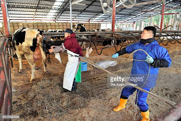 Workers helps a cow giving birth at Hiruta dairy farm on January 24 2017 in Naraha Fukushima Japan About 400 liters of unpasteurized milk were...