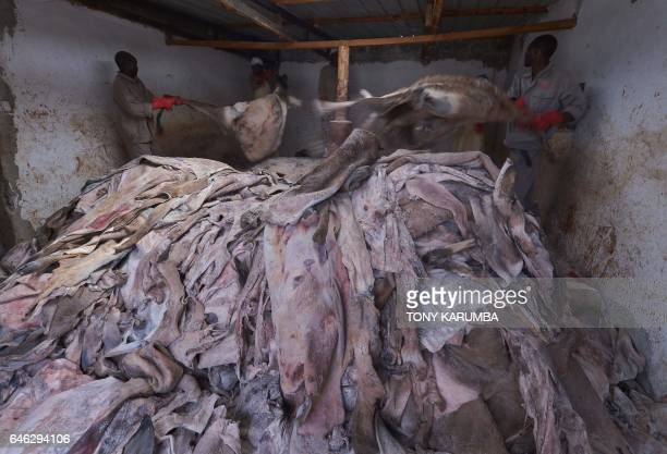 Workers hold donkey's hides before curing at a licensed slaughterhouse specialised in donkeys in Baringo on February 28 2017 The emergence of the...