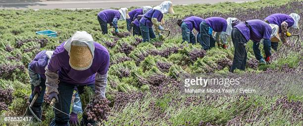 Workers In A Lavender Field