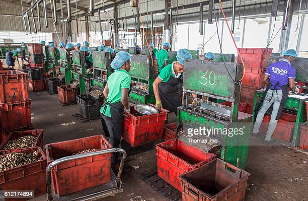 Workers in a production hall of the MIM cashew processing company on September 07 2016 in Mim Ghana