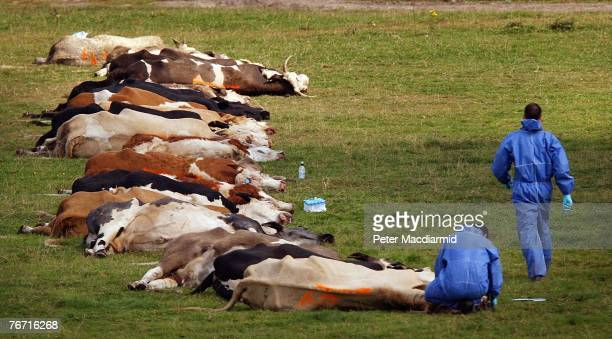 Workers in protective overalls stand amongst slaughtered cattle on September 13, 2007 in Egham, England. Early results from tests link this new...
