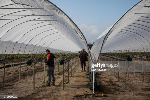 Workers inside a Polytunnel ahead of the fruit picking season at a farm on March 31, 2020 in Rochester, Kent. Concerns over the short supply of...