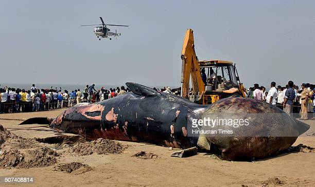 Workers lift Caracas of nearly 40footlong Bryde's whale with crane which washed ashore at Juhu Chowpati last night on January 29 2016 in Mumbai India...