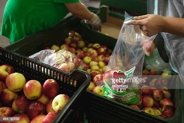 Workers load apples into plastic bags for distribution to stores during the summer harvest at the Sady Trzebnica z oo apple farm in Trzebnica Poland...