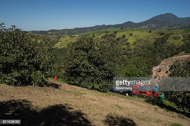 Workers load crates of avocados onto a truck at the Cruz de Asta farm in Nayarit Mexico on Saturday Nov 5 2016 The demand for avocados from Mexico...