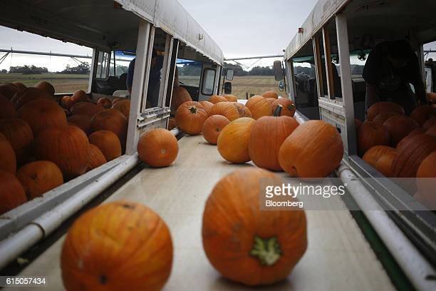 Workers load newlyharvested jacko'lantern pumpkins onto a conveyor belt at a Frey Farms Inc processing facility Poseyville Indiana US on Thursday Oct...