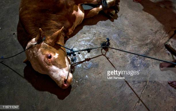 Workers make preparations for cattle to be slaughtered in an abattoir on June 9 2011 in Yogyakarta Indonesia Australia today announced a suspension...