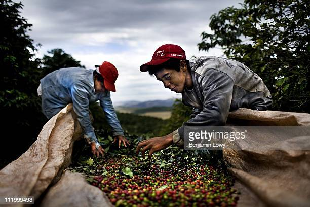 Workers manually harvest ripe coffee cherries picking them off trees separating them and packing them in sacks on a massive coffee plantation on June...
