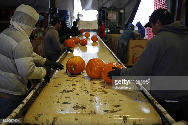 Workers move newlyharvested jacko'lantern pumpkins down a conveyor belt as they are washed at a Frey Farms Inc processing facility Poseyville Indiana...