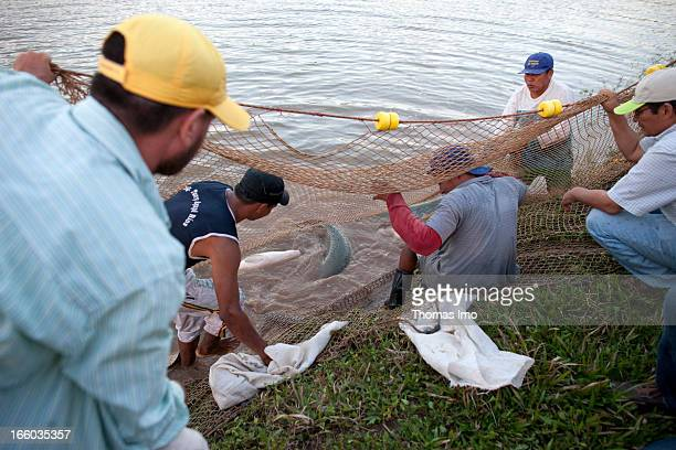 Workers of a fish farm here they breed the largest freshwater fish called Paiche