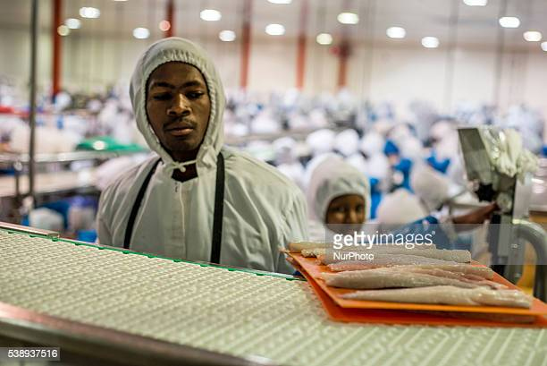 Workers of a fish processing factory make hake fillet Walvis Bay Namibia June 7 2016 A main product of the factory is Hake making 22 000 tons of...