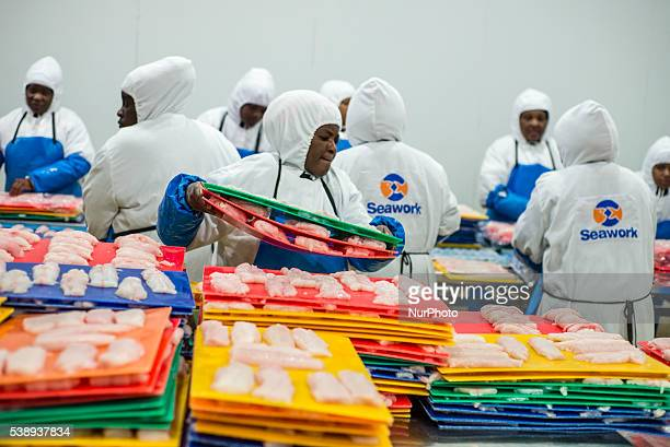 Workers of a fish processing factory prepare hake fillet for freezing Walvis Bay Namibia June 7 2016 A main product of the factory is Hake making 22...