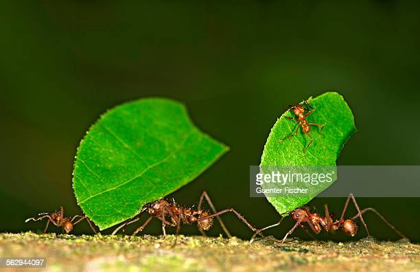 Workers of Leafcutter Ants -Atta cephalotes- carrying leaf pieces into their nest, Tambopata Nature Reserve, Madre de Dios region, Peru