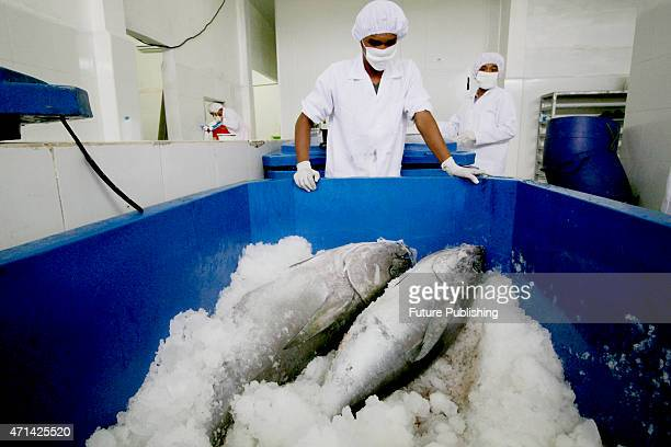 Workers of PT Nagata Prima Tuna at Ulee Lheue, processing Tuna fish for export on April 28, 2015 in Banda Aceh, Indonesia. Indonesian Ministry of...