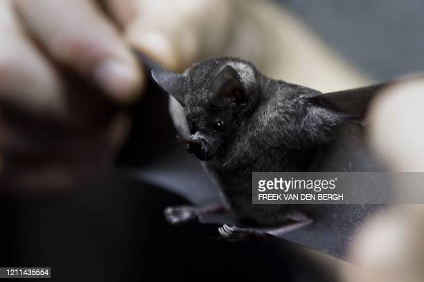 Workers of the Burgers' Zoo determine the gender of a bat in Arnhem on April 28, 2011. Annually Seba's Short-tailed Bats are counted and the gender...