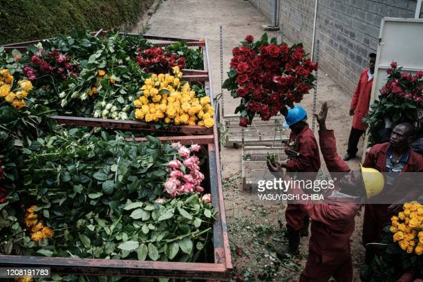 TOPSHOT Workers of the flower farm put reserved roses for a client's urgent order into a cart to dump them at the Bliss Flora farm in Nakuru on March...