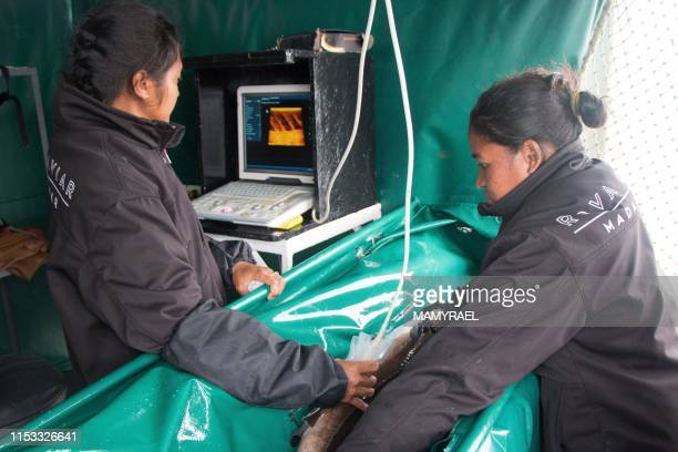 Workers of the Rova Caviar Madagascar company make an echography of a sturgeon at the Acipenser factory on June 4 2019 in Mantasoa Madagascar in...
