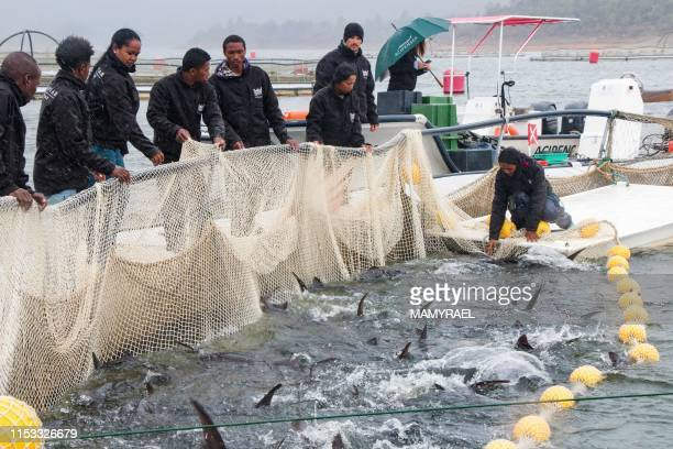 Workers of the Rova Caviar Madagascar company pull the nets at the Acipenser factory on June 4 2019 in Mantasoa Madagascar to fish sturgeons in order...