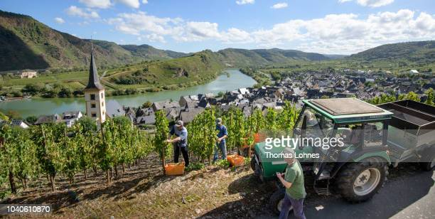 Workers of the winery Herbert A Schmitz harvest Riesling grapes on the Bremmer Calmont hillside above a bend of the Mosel River on September 25 2018...