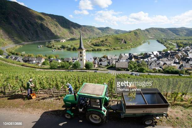 Workers of the winery Herbert A. Schmitz harvest Riesling grapes on the Bremmer Calmont hillside above a bend of the Mosel River. On September 25,...