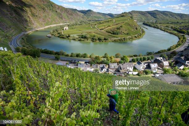 Workers of the winery Toni Treis harvest Riesling grapes on the Bremmer Calmont hillside above a bend of the Mosel River. On September 25, 2018 near...