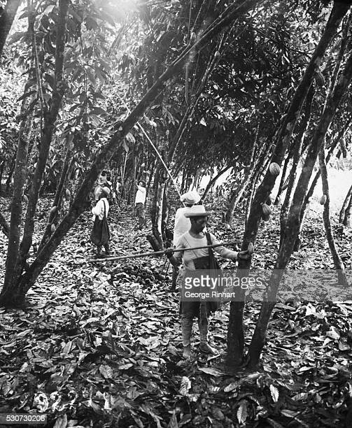 Workers on a cacao plantation in Ecuador harvest cocoa pods