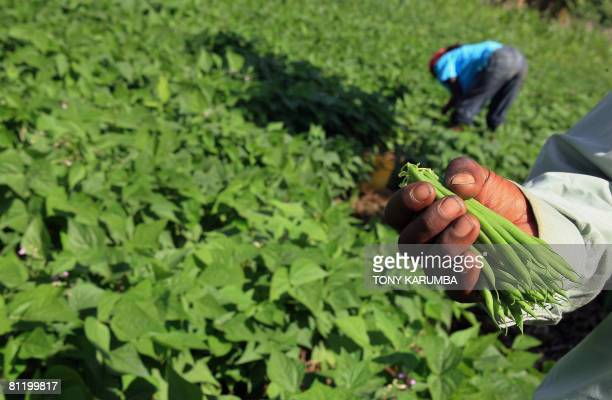Workers on a green beans farm harvest on May 16 2008 the crop in Kagio 90 kms northeast of Nairobi in Kenya's Central province district of Kirinyaga...