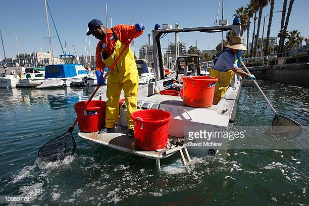 Workers on a Redondo Beach Harbor Patrol boat net floating fish as workers and volunteers continue to clean up millions of dead sardines for a second...