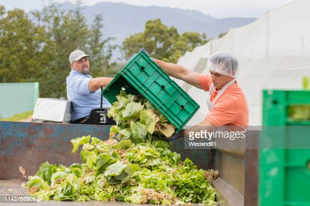 workers on vegetable farm dumping old cabbage - garbage stock pictures, royalty-free photos & images