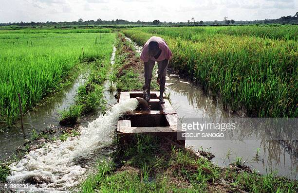 Workers opens an irrigation tap 13 June 2001 at the rice research center in Bouake, center of Ivory Coast. A specially developed rice for Africa,...