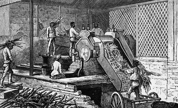 Workers operating a sugar cane crushing machine on...