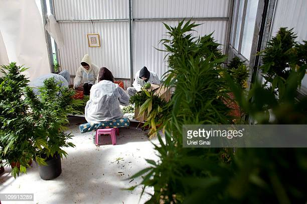 Workers pack cannabis at the growing facility of the Tikun Olam company on March 7 2011 near the northern city of Safed Israel In conjunction with...