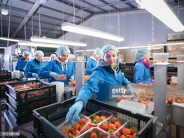 Workers packing fresh strawberries into trays on fruit farm