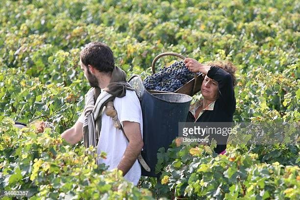 Workers participate in the red wine grape harvest at Chateau HautBrion in Pessac near Bordeaux southwestern France on Friday September 15 2006