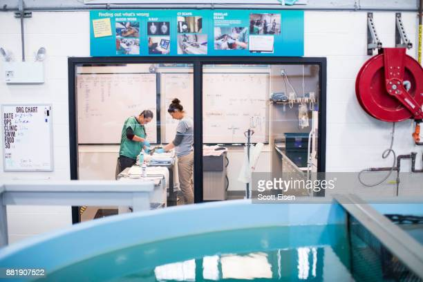 Workers perform a procedure on a sea turtle at New England Aquarium's Sea Turtle Hospital on November 29 2017 in Quincy Massachusetts The New England...