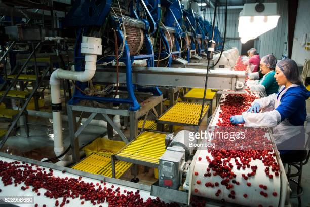 Workers perform quality checks on Montmorency cherries moving along a conveyor belt at the Seaquist Orchard processing facility in Egg Harbor...