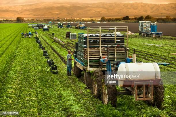 労働者は、サリナス バレー、カリフォルニア州アメリカ合衆国で緑行セロリ フィールドを選択します。 - farm workers california ストックフォトと画像