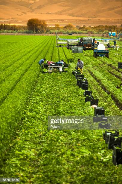 Workers pick a green row celery field in the Salinas Valley, California USA