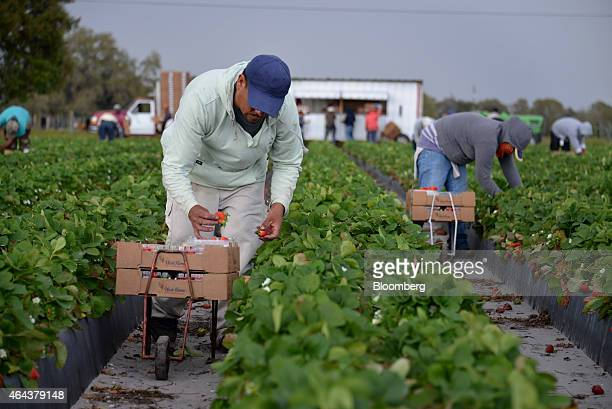 Workers pick and pack strawberries during a harvest at Fancy Farms near Plant City Florida US on Tuesday Feb 24 2015 Annual strawberry harvests in...