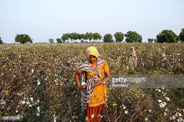 Workers pick cotton on a farm during a harvest in Pilibanga Rajasthan India on Tuesday Nov 4 2014 India may topple China as the world's largest...