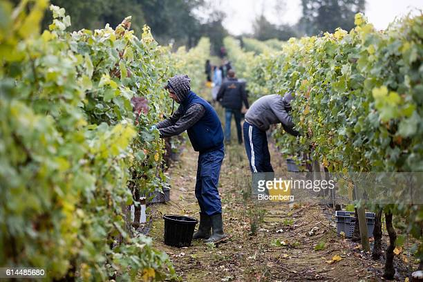 Workers pick grapes from the vineyard at the Ridgeview Estate Winery in Sussex UK on Thursday Oct 13 2016 Then UK Environment Secretary Liz Truss...