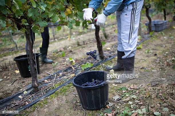 Workers pick Pinot Meunier grapes from the vineyard at the Ridgeview Estate Winery in Sussex UK on Thursday Oct 13 2016 Then UK Environment Secretary...