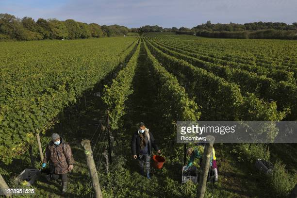Workers pick Pinot Noir grapes during the harvest at the Nyetimber Ltd. Vineyard in Tillington, U.K., on Wednesday, Oct. 7, 2020. When English...