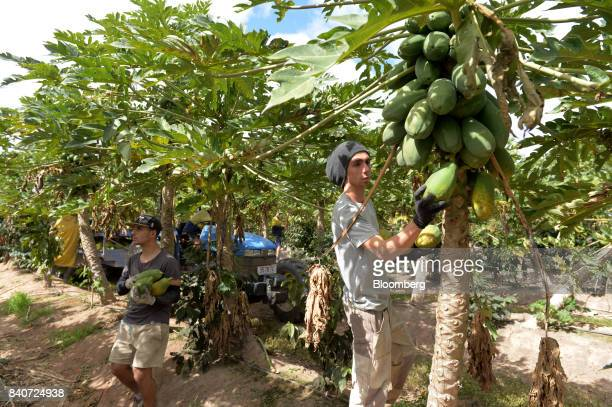 Workers pick ripe red papaya from trees in an orchard at the Skybury Coffee Pty papaya plantation in the Atherton Tablelands Queensland Australia on...