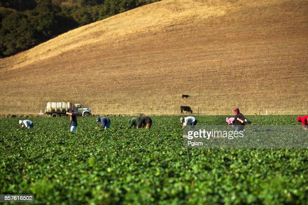 Workers pick strawberries from a field in the Salinas Valley, California USA