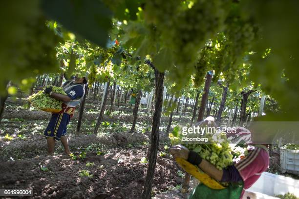 Workers pick white wine grapes at the Bodega Santa Julia Finca Maipu vineyard in Mendoza Argentina on Tuesday March 23 2017 The Argentine wine...