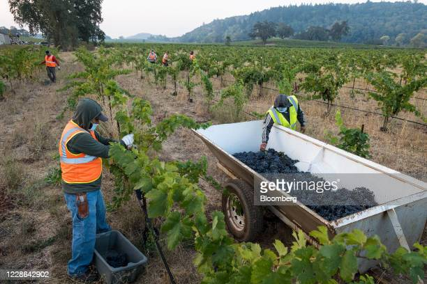 Workers pick zinfandel grapes at a vineyard in Kenwood California US on Monday Sept 21 2020 Smoke from the LNU Lightning Complex wildfires may have...