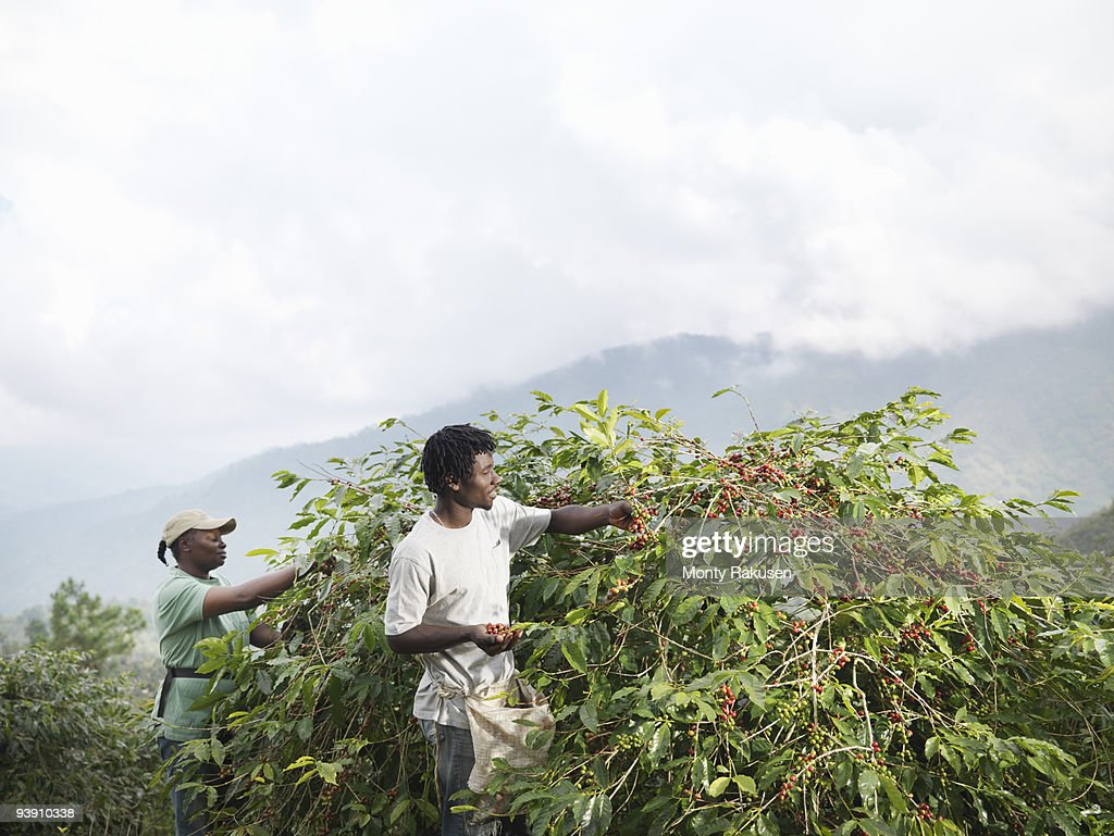 Workers Picking Coffee Beans : Stock Photo