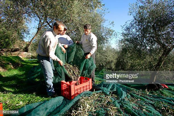 Workers Picking Olives at Oil Mill