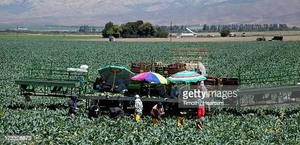 workers picking organic broccoli - timothy hearsum imagens e fotografias de stock